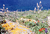 Spring flowers on Patmos, Dodecanese, Greece